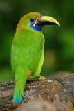 青红喉刺莺的Toucanet, Aulacorhynchus prasinus,绿色toucan鸟在自然栖所,哥斯达黎加 库存照片