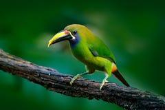 青红喉刺莺的Toucanet, Aulacorhynchus prasinus,绿色toucan鸟在自然栖所,异乎寻常的动物在热带森林,墨西哥里 图库摄影