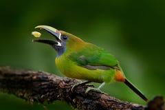 青红喉刺莺的Toucanet, Aulacorhynchus prasinus,绿色toucan鸟,自然栖所,哥斯达黎加细节画象  美丽的鸟 免版税图库摄影