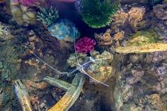 青绿色龙虾,被绘的大螯虾 免版税库存照片