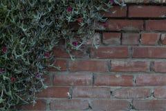 青苔与上升在砖墙上的开花的罗斯藤 图库摄影
