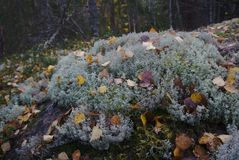 青苔和叶子在秋天森林里 库存图片