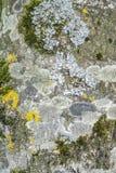 青苔和地衣在树皮 库存照片