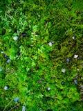 青苔和强烈的绿色蕨 库存照片