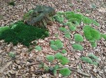 青苔和树桩 库存照片