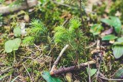 青苔和森林植物 针叶树 免版税库存照片