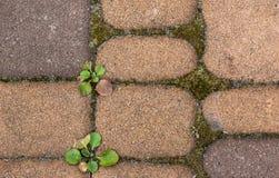 青苔和绿色杂草在背景中在铺路板之间 图库摄影