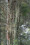 青苔在一棵树增长在森林里在Paro (不丹)附近 库存照片