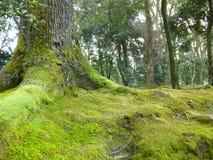 青苔在地面和树增长在Kinkakuji寺庙 库存图片