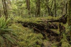 青苔在新西兰` s开普勒轨道的,其中一一个森林里盖了树南岛` s巨大步行 免版税库存照片