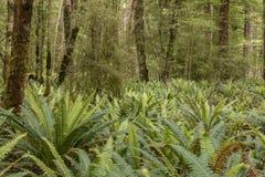 青苔在新西兰` s开普勒轨道的,其中一一个森林里盖了树和蕨南岛` s巨大步行 图库摄影
