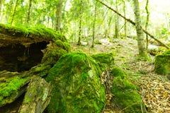 青苔在春天森林 免版税库存照片