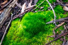 青苔在有黎明光的森林里  库存照片