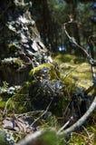 青苔在杉树下 免版税库存照片