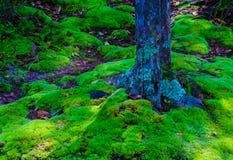 青苔在森林里 库存图片