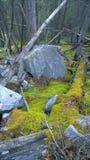 青苔在森林里 免版税库存图片