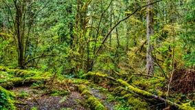青苔在Kanaka小河地方公园温和雨林里盖了树 免版税库存照片