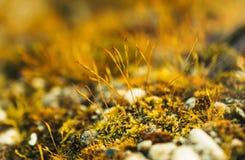 青苔宏观照片在森林里 图库摄影