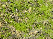 青苔岩石沙子巧克力精炼机海壳背景 免版税库存照片