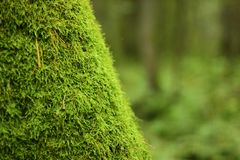 青苔树被盖的树干  免版税库存照片