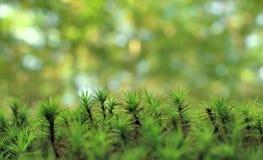 青苔森林美好的自然本底  图库摄影