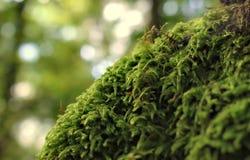 青苔森林美好的自然本底  免版税库存图片