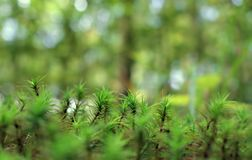 青苔森林美好的自然本底  免版税库存照片