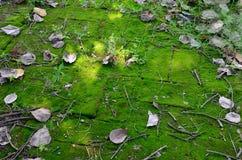 青苔植物背景 免版税库存图片
