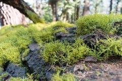 青苔特写镜头在一棵下落的树的 免版税库存照片