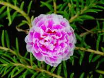 青苔玫瑰色花紫色 库存图片