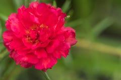 青苔玫瑰色花 免版税库存照片