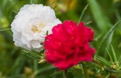 青苔玫瑰色花 免版税图库摄影