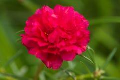 青苔玫瑰色花 免版税库存图片