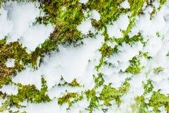 青苔的背景纹理在一棵树的吠声的与雪的在明亮的冬日 库存图片