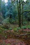 青苔盖了在一个被充斥的山沟的槭树 免版税库存照片