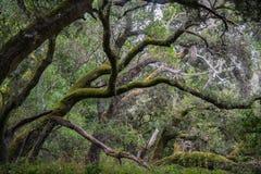 青苔盖了小橡树树,加利福尼亚 免版税库存照片