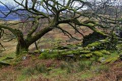青苔盖了山保护矿工的村庄, Hafod y Llan的废墟的橡树 库存照片