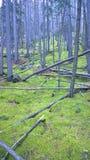 青苔盖了森林地板,班夫国家公园,亚伯大,加拿大 免版税库存图片