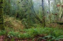青苔盖了温带林, Goldstream公园,不列颠哥伦比亚省的槭树和蕨 免版税库存照片