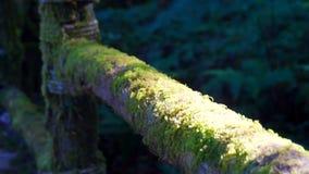 青苔盖子供徒步旅行的小道木栏杆,陈列醉汉森林 股票录像