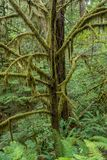 青苔盖树肢体  图库摄影