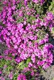 青苔福禄考福禄考subulata或者山福禄考,爬行福禄考,青苔桃红色它是形成席子或坐垫的一种常青多年生植物 免版税库存图片