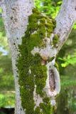 青苔结构树 免版税库存照片
