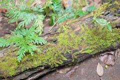 青苔被盖的下落的树和蕨 免版税库存图片