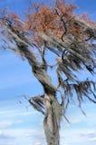 青苔被装载的结构树 免版税图库摄影