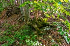 青苔隐蔽的树根源在地面外面 库存照片
