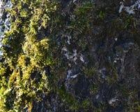 青苔,青苔,桦树,春天,公园,早晨,早期,安心,结构,地衣,吠声, 库存图片