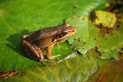 青蛙一点 免版税库存图片