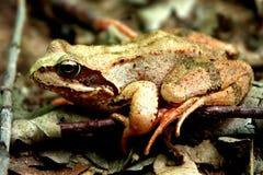 青蛙一点 库存图片