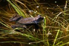 青蛙交配季节 库存照片